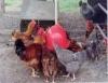 Manejo da alimentação da ave caipira engloba pasto e ração balanceada