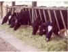 Alimentação de bovinos com cana ureia oferta forragem de valor nutritivo e baixo custo