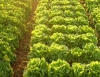 Irrigação  proporciona aumento da produtividade e qualidade dos produtos agrícolas