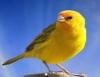 Criação de canário da terra encanta donos e protege a espécie