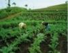 Passos importantes para a colheita e beneficiamento de plantas medicinais