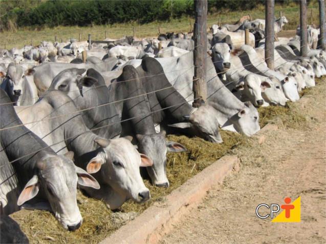 Alimentação de gado de corte