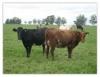 Aprenda sobre a alimentação de gado de corte