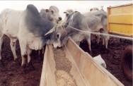 Os volumosos e concentrados são alimentos indispensáveis no manejo alimentar do gado.