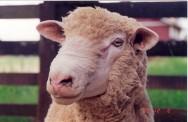 Uma forma de aproveitar o potencial das raças de carne é o cruzamento industrial com raças mistas ou produtoras de lã fina.