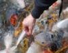 Alimentação dos peixes é definida por diversos fatores. Confira quais são eles!