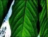 Fotossíntese com folha artificial gera energia