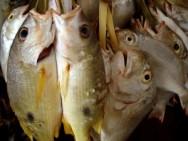 A conversão alimentar faz com que os peixes retirem os nutrientes, transforme-os, e os incorpore na forma de tecido, que é o filé.