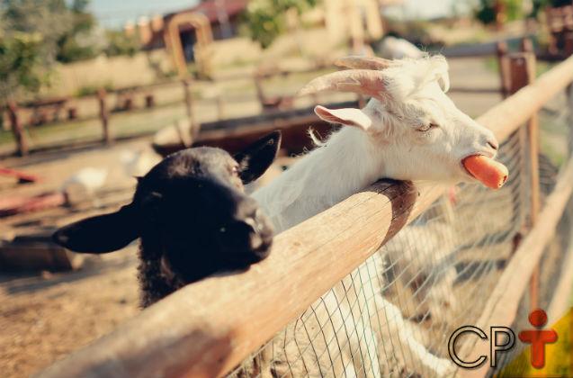 Vai criar cabras leiteiras? Alimente-as com leguminosas e gramíneas   Artigos Cursos CPT