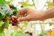 Produção de café: pragas que atacam o cafeeiro