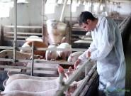 É possível estimular o cio de porcas