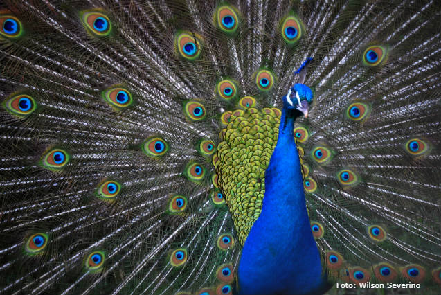 Sugestões de aves exóticas para criar em casa
