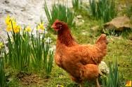 Integração entre galinhas e a lavoura