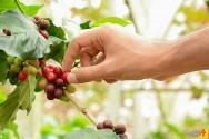 Com técnicas de administração para o café, fazenda corta custos