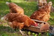Conheça uma das doenças mais comuns em aves: a bouba aviária