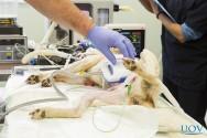 Remoção do baço em cães