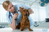 Cuidado veterinário: o que é Otohematoma?