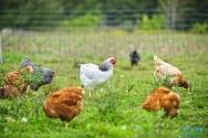 Criação de galinhas sem gaiolas: cage-free