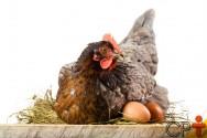 Muda de penas forçada em galinhas poedeiras: SIM ou NÃO?