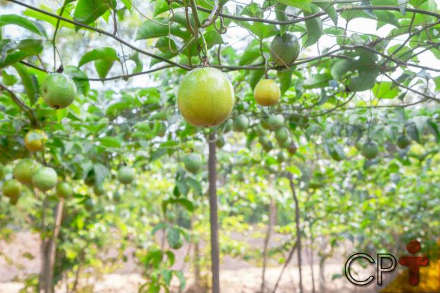 Quer ganhar dinheiro com o quintal de sua casa? Plante maracujá!   Artigos Cursos CPT
