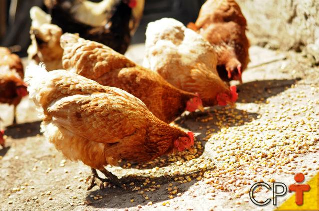 É possível criar galinhas caipiras, alimentando-as apenas com milho?   Artigos Cursos CPT