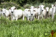 3 alimentos são fundamentais para a engorda de bois em pasto. Descubra!