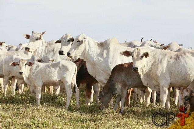 Na seca, quanto mais suplementos mais engorda o gado de corte   Artigos Cursos CPT