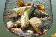 O transporte de peixes produzidos