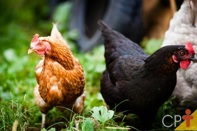 Confira as raças de galinha poedeira e para abate