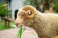 Alimentação de ovinos: qual o melhor capim no Nordeste?