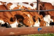 Descubra as vitaminas e os minerais benéficos aos bovinos