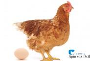 Dica para a criação de galinhas poedeiras: o cálcio é fundamental na nutrição das aves