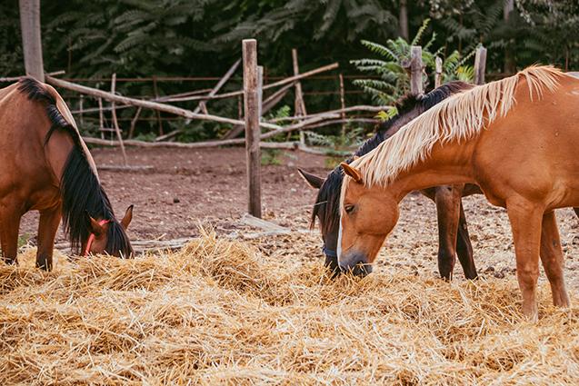 Alimentação de cavalos