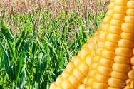 Quatro novas cultivares de milho