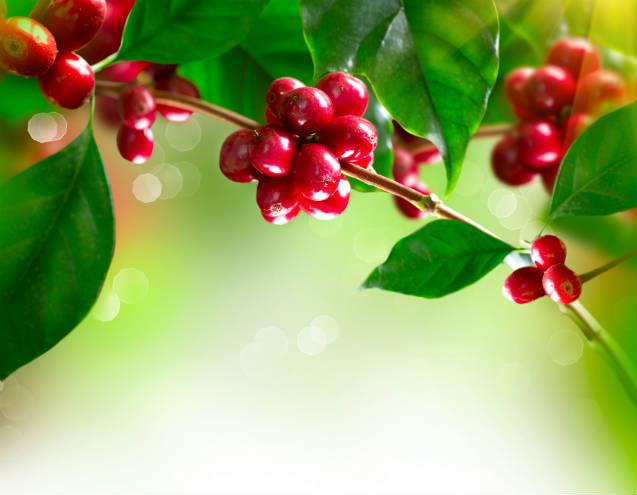 Fatores que influenciam na qualidade do café