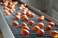 Saúde: ovos de galinhas geneticamente modificadas contêm proteína anticâncer