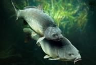 Carpa japonesa comum: reprodução natural em viveiro