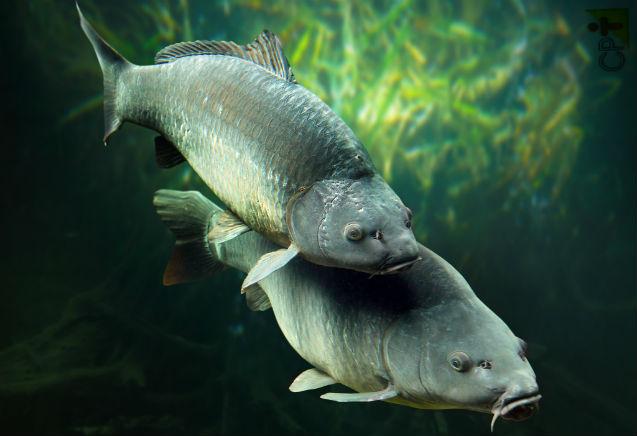 Carpa japonesa comum: reprodução natural em viveiro   Artigos Cursos CPT