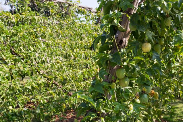 Maracujá: fruta versátil da qual tudo se aproveita