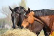 Dicas imperdíveis de alimentação para cavalos