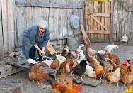 Como deve ser a criação doméstica de galinhas