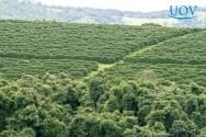 Produção de café: controle da broca-do-café