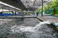 Água de má qualidade causa sabor estranho à carne dos peixes