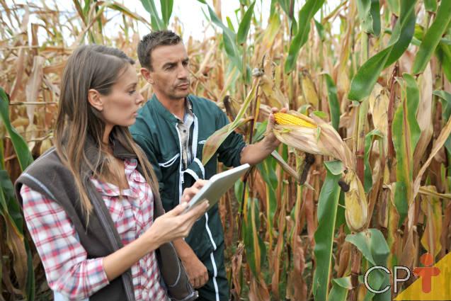 Confira as pragas do milho que atacam folhas e raízes