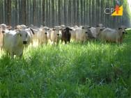 Integração Lavoura-Pecuária: como reduzir a compactação do solo por pisoteio do gado