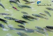 Mato Grosso do Sul: líder em exportações de filé de tilápia