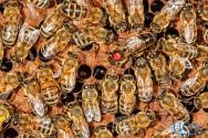 Criação de abelhas: aprenda a fortalecer sua colmeia contra a varroa