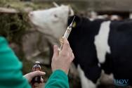 Tratamento da mastite clínica deve ser direcionado ao agente patógeno