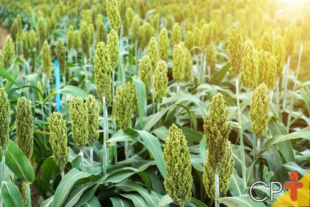 Confira as vantagens de se plantar sorgo