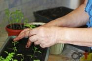 Vai plantar pimenta? Aprenda a produzir as mudas